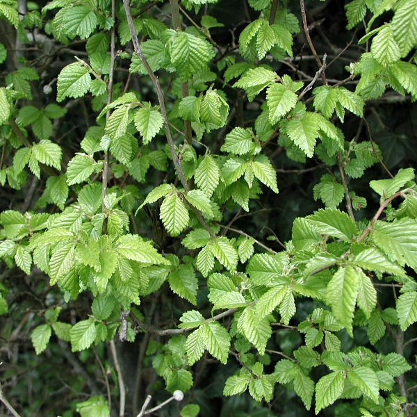 Ulmus minor ssp. minor