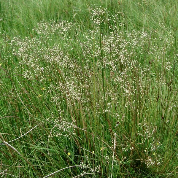 Deschampsia flexuosa