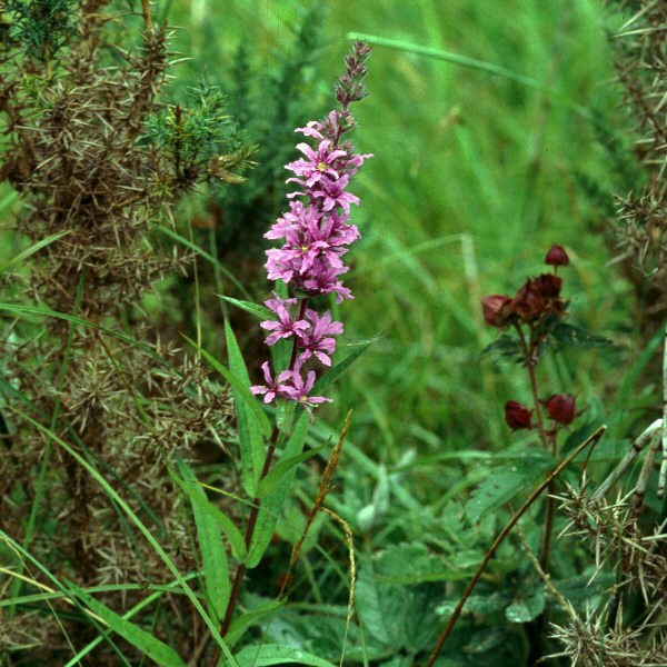 herbcraft... purple loosestrife