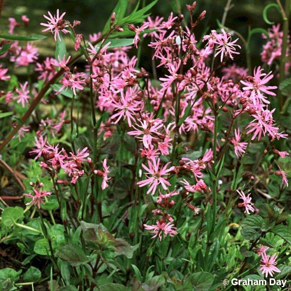 lychnis flos cuculi flora of northern ireland. Black Bedroom Furniture Sets. Home Design Ideas