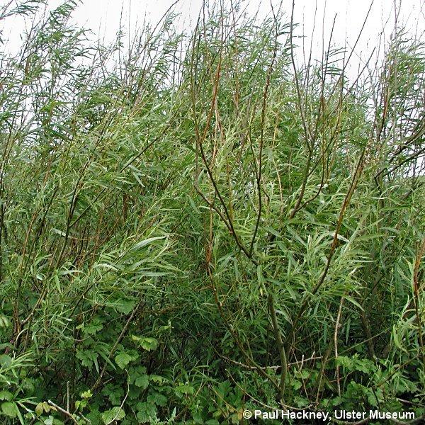 Nombre de arbustos foro de infojardn - Nombres de arbustos ...
