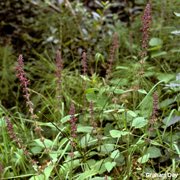 Stachys sylvatica