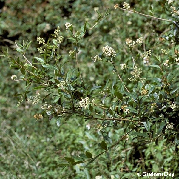 ligustrum vulgare flora of northern ireland. Black Bedroom Furniture Sets. Home Design Ideas