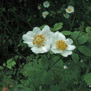 Rosa Arvensis Hudson Field Rose Flora Of Northern Ireland