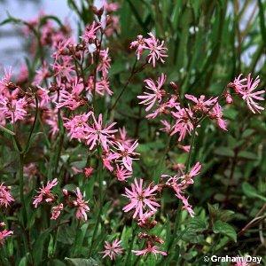 lychnis flos cuculi l ragged robin flora of northern ireland. Black Bedroom Furniture Sets. Home Design Ideas
