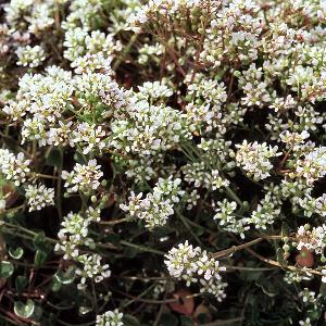 Cochlearia officinalis ssp officinalis