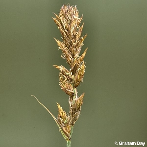 Carex disticha