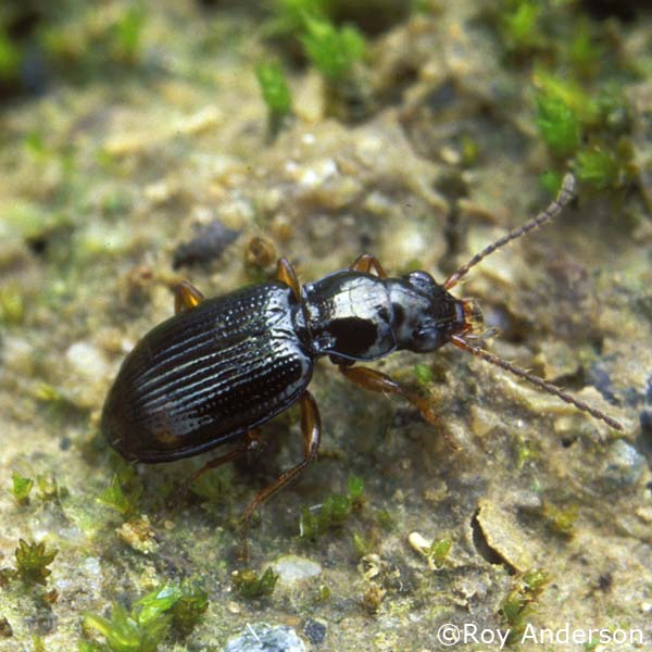 Bembidion assimile