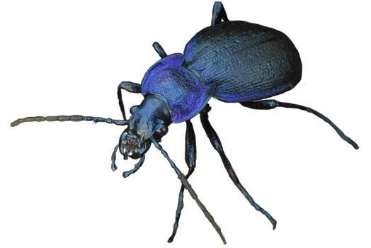 Ground Beetles of Ireland :: Habitas :: National Museums