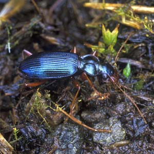 Ground Beetles of Ireland « Home Page