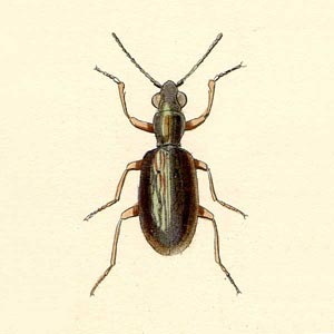 Asaphidion pallipes