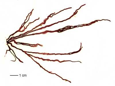 helminthoides nemalion)
