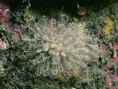 Clavelina Lepadiformis Marine Life Encyclopedia