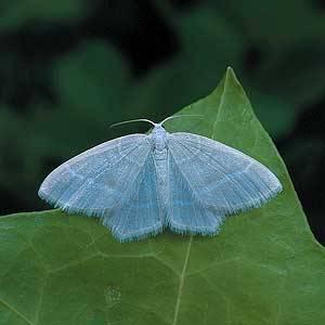 Little Emerald - erflies and Moths of Northern Ireland