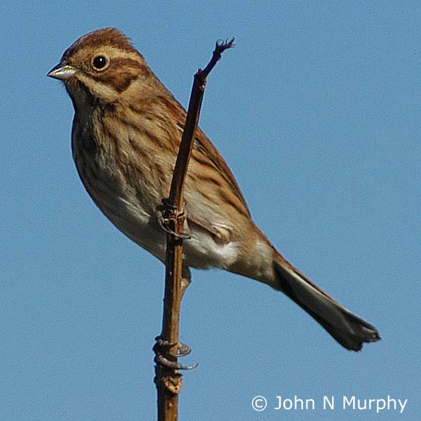 Emberiza Schoeniclus Reed Bunting Northern Ireland S Priority Species